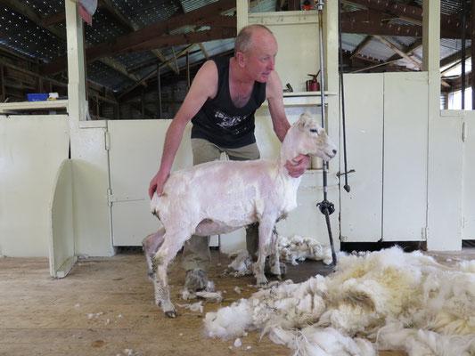 Vorführung einer Schafschärung