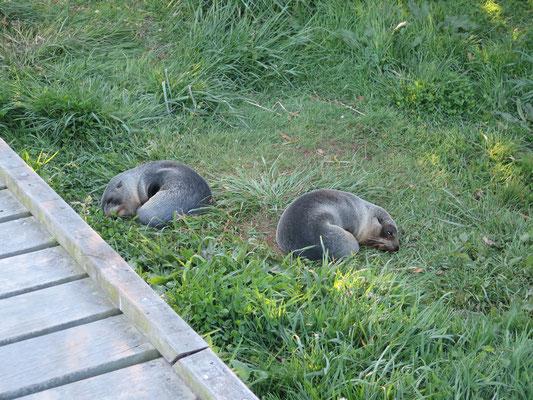 Kaikoura - Seehund Kolonie. Auch mit Jungen