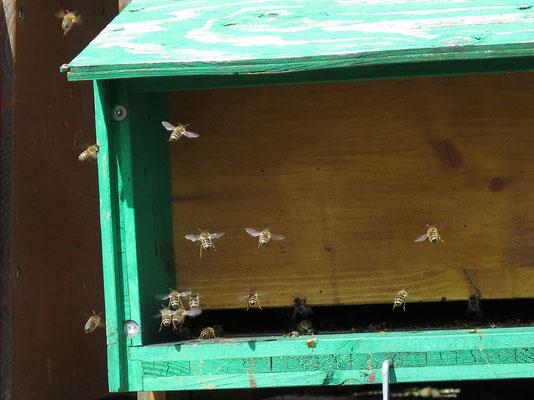 Bienenbeobachtung von Mike & Carlo
