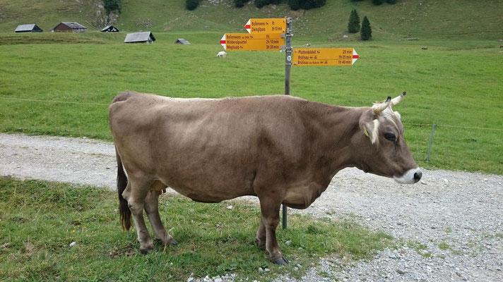 Die Kuh weist uns den Weg zurück nach Brülisau