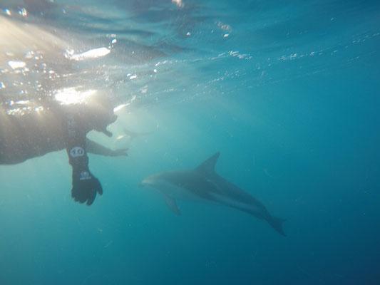 Kaikoura. Bei 12 Grad kaltem Wasser gingen wir für 45 Minuten mit den Delfinen schwimmen