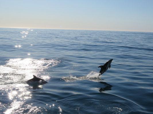 Kaikoura. Dusky Delfine sind bekannt dafür, dass sie ziemlich verspielt sind