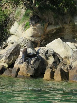 Die Seehunde sind im Abel Tasman Nationalpark überall