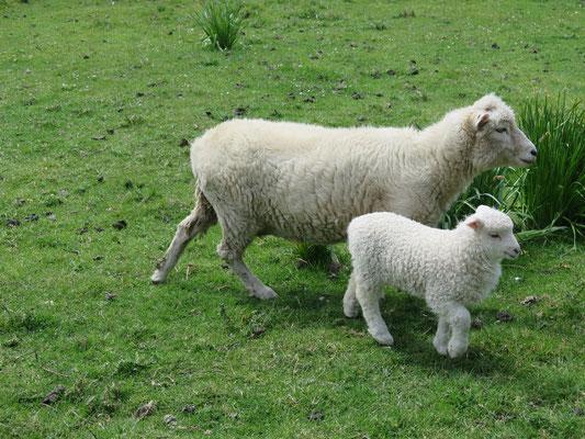 Tausende von Schafen mit ihren Jungen konnten wir während der ganzen Reise beobachten