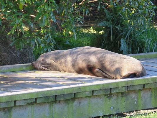 Kaikoura - Seehund Kolonie im Dorf. Die Seehunde liegen auf der Strasse und auf den Fussgängerwege