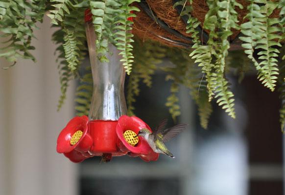 Einer von vielen Kolibri