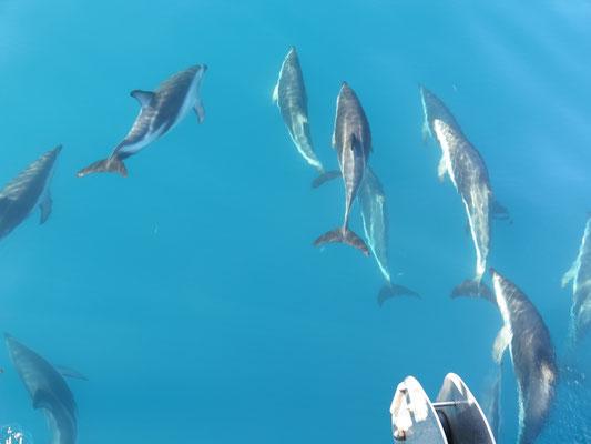Kaikoura - Dusky Delfin Tour. Dutzende von Delfinen schwimmen mit unserem Boot mit
