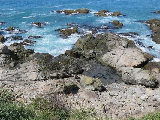 Nördlich von Kaikoura eine grosse Seehundkolonie