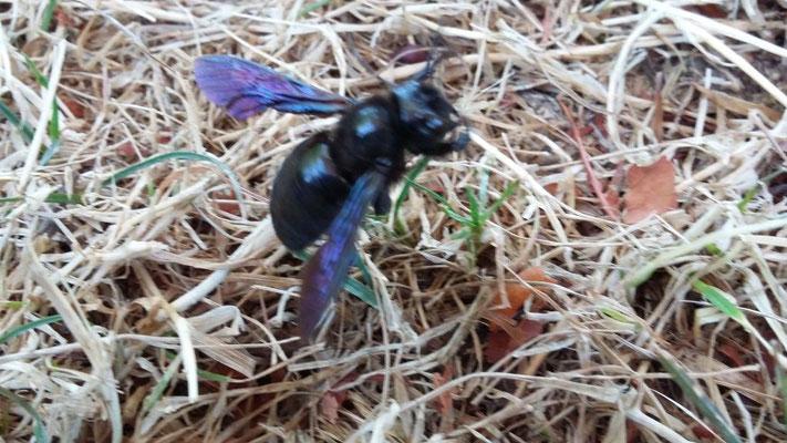 Die violette Holzbiene - neu in unseren Breitengraden