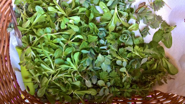 Noch jung und zart: wilder Ackersalat, kleine Fetthenne, Labkraut-Klette und Brennesseln