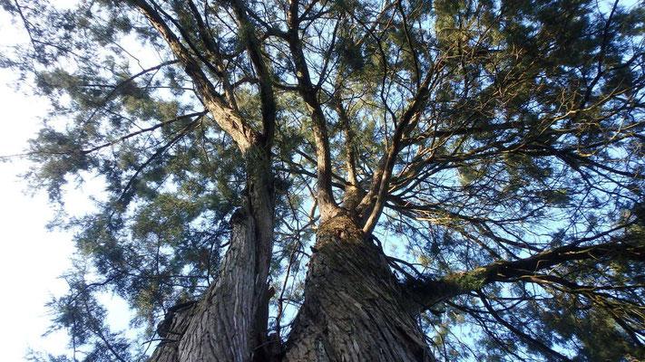 Vue sous couronne d'un Juniperus