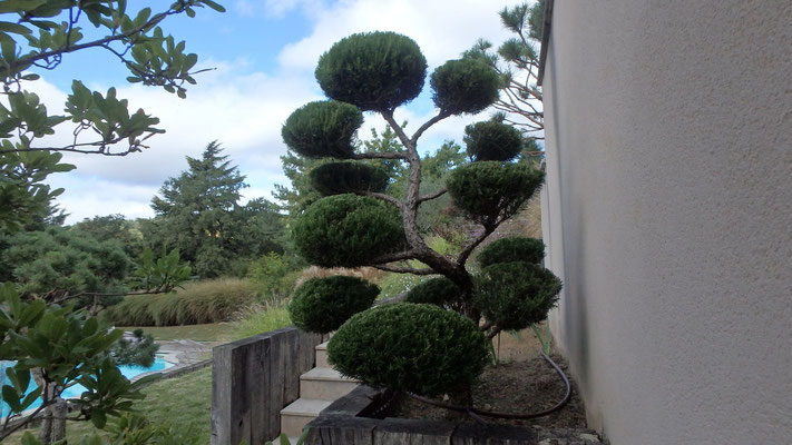 Juniperus conduit en coussins