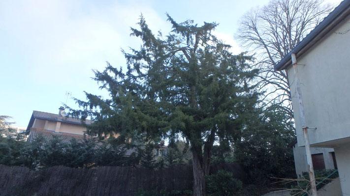 Couronne de Juniperus après taille de restauration suite à chute de neige 3
