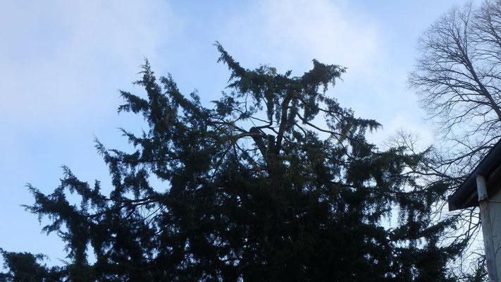 Couronne de Juniperus après taille de restauration suite à chute de neige 5
