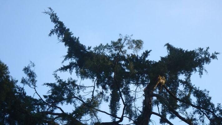Couronne de Juniperus après taille de restauration suite à chute de neige 4