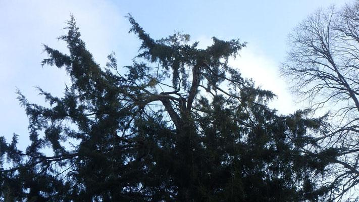 Couronne de Juniperus après taille de restauration suite à chute de neige 6
