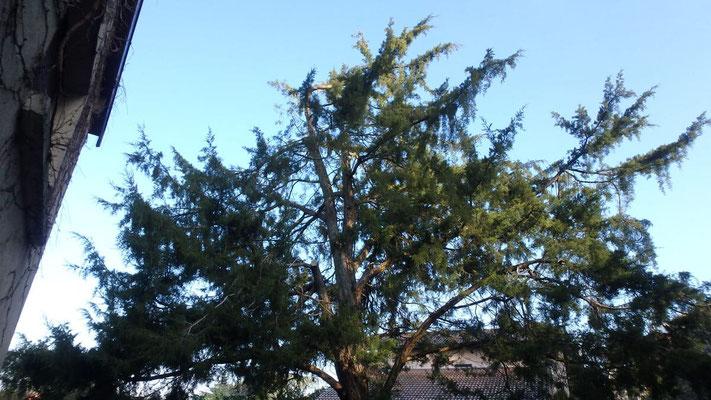 Couronne de Juniperus après taille de restauration suite à chute de neige 1