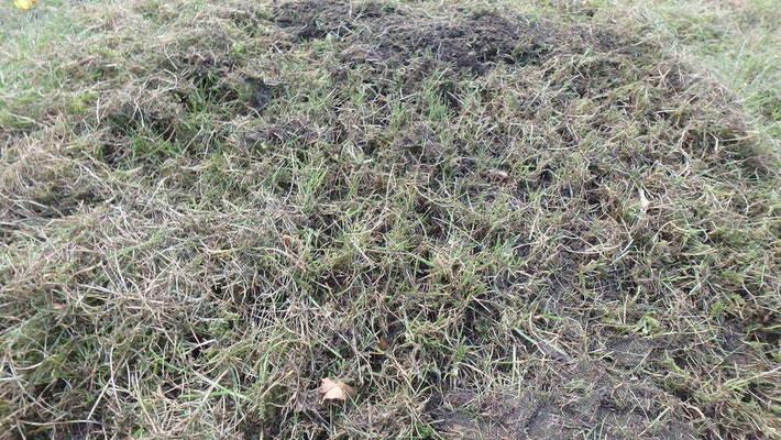 pelouse en cours de scarification
