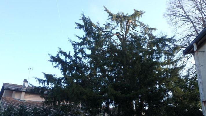 Couronne de Juniperus après taille de restauration suite à chute de neige 2