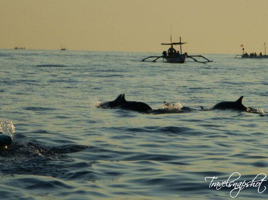 Delfine von Lovina