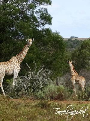 Botlierskop Game Reserve Südafrika