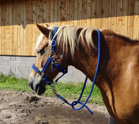 Halfter und Pferdestrick geflochten