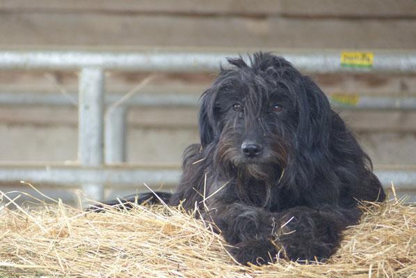 Als ich Lucy von den Fellkindern e.V. bekam,wußte ich nicht einmal , dass es diese Rasse gibt. Die Rassebeschreibung hier passt aber 200% ,sie ist ein Gos in altersgrau und sie ist der Hund meines Lebens.