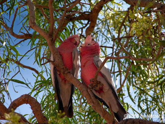 flirtende Papageien