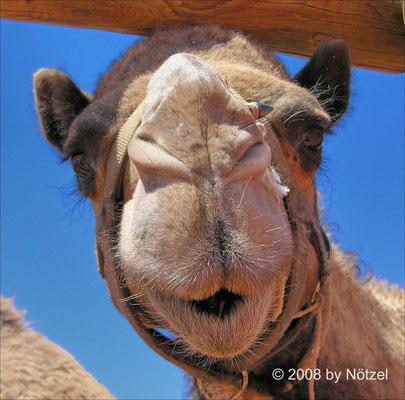 einheimische Kamele