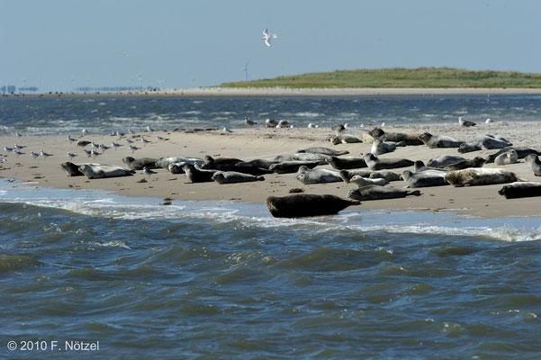 Seehunde vor Norderney