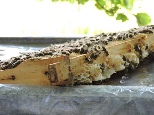 Bienenwabe mit Nachwuchs