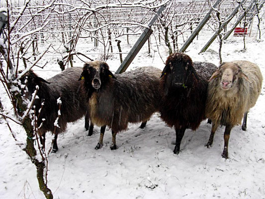 Winterweide der Schafe