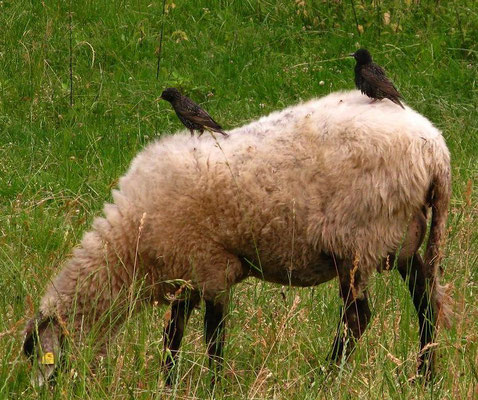 Stare auf Schaf