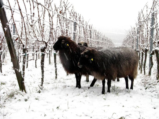 Winterweide im Wingert