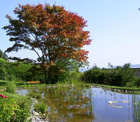 Teich  mit Japanischem Ahorn im Hintergrund