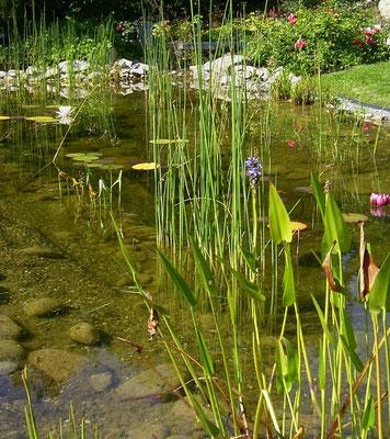 Teichdetail mit Wasserpflanzen