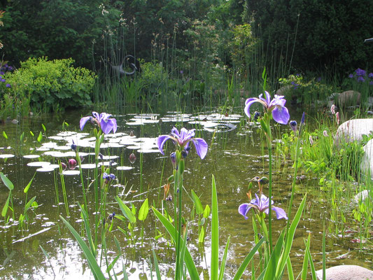 Irisblüte am Teich