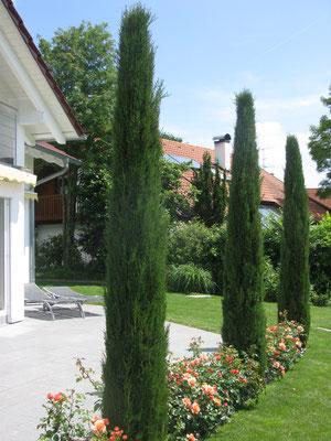 Italienische Zypressen und Rosen