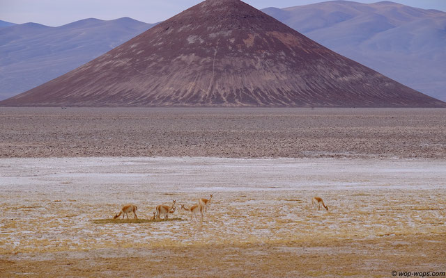 "Vicunas and ""Cono"""