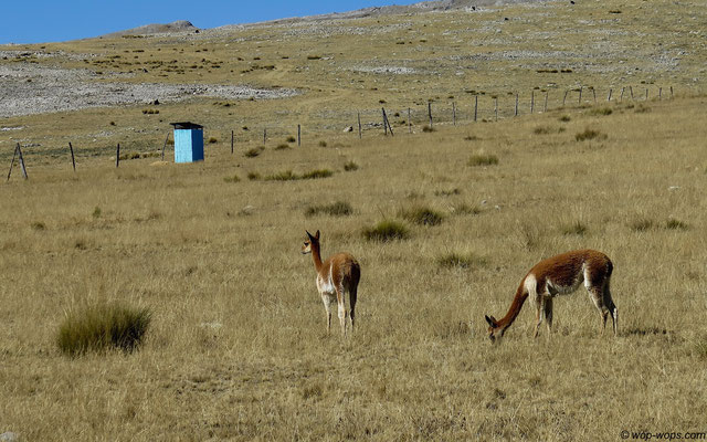Vicunas on the way to the dunny