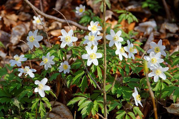 Zu den ersten blühenden Pflanzen im Leutratal gehört das Busch-Windröschen. © Dr. Hans Reip