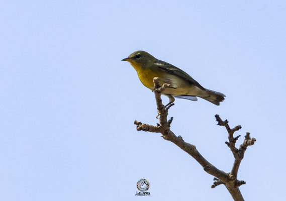 Northern Parula (Setophaga americana)