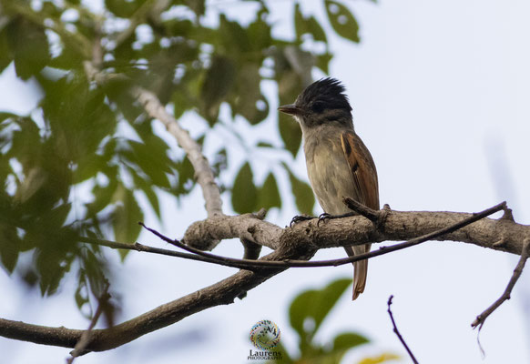 Rose-throated Becard (Pachyramphus aglaiae).