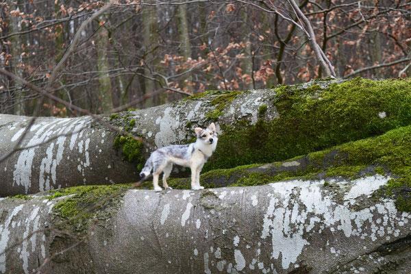 Tschechischer Wolfshund TWH Hund