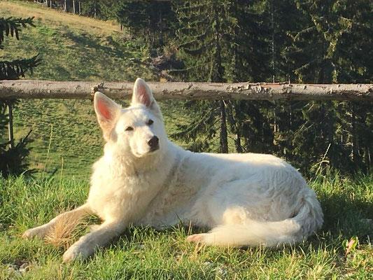 Podencomix Hund