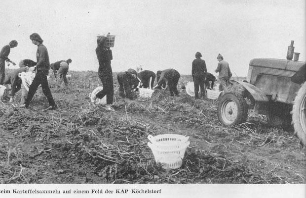 Beim Kartoffelsammeln auf einem Feld der KAP Köchelsdorf