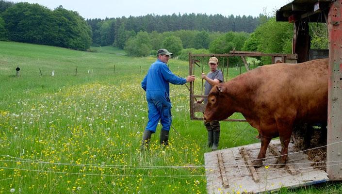 Der Bulle hat den Vortritt. Man sollte ihm nicht im Weg stehen, wenn er das satte Grün sieht.