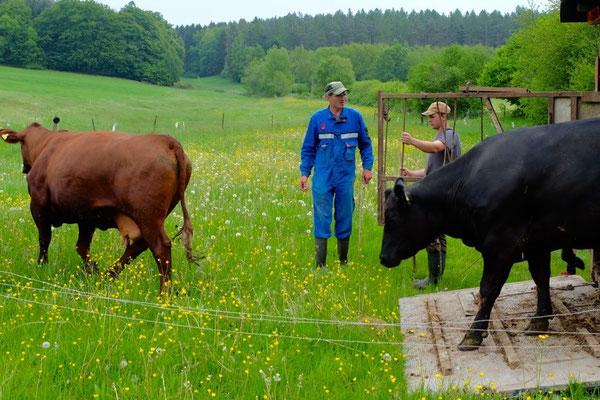 Die Kühe freuen sich auf die Weide
