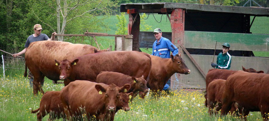 Kühe treten erst mal den großen Rundgang an.