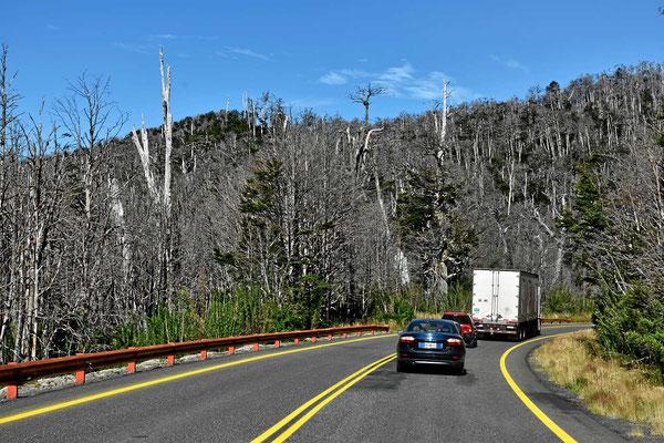 Durch den Ausbruch des Vulkans Puyehue in 2011 sind die Bäume in erheblichen Teile des Nationalparks abgestorben.
